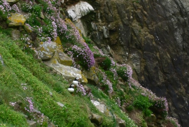 Pair of Puffins of Great Saltee