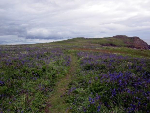 Wildflowers on Great Saltee