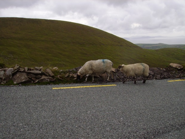 Sheep on side of road in Ireland