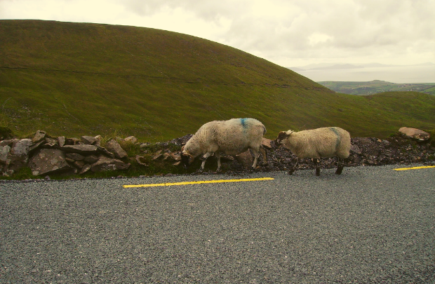 Sheep on Conor Pass